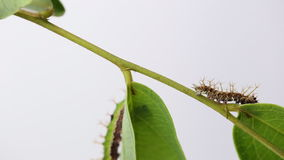 Caterpillar of color Sergeant butterfly are walking on twig stock video