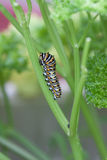 Caterpillar. Colorful caterpillar climbing up a plant Royalty Free Stock Photography