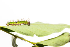 Caterpillar of colour segeant butterfly in latest instar. Walking on twig royalty free stock photos