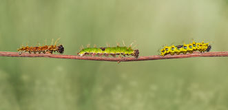 Caterpillar of colour segeant butterfly from 4th to mature. Walking on twig stock images
