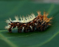 Caterpillar of comma - Polygonia c-album Royalty Free Stock Photography