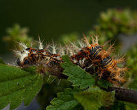 Caterpillar of comma - Polygonia c-album. In leaf Royalty Free Stock Photo