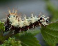 Caterpillar of comma - Polygonia c-album Stock Photo