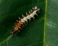 Caterpillar of comma - Polygonia c-album Royalty Free Stock Image