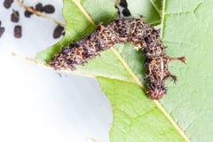 Caterpillar of commander butterfly , moduza procris Stock Image