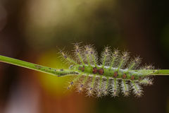 Caterpillar of the Commom Gaudy Baron ( Euthalia lubentina ) but Stock Photos