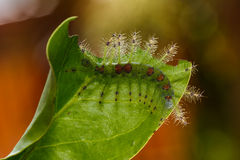 Caterpillar of the Commom Gaudy Baron ( Euthalia lubentina ) but Stock Images