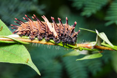 Caterpillar of common golden birdwing butterfly Royalty Free Stock Photos