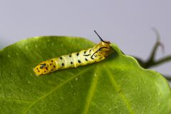 Caterpillar of common maplet butterfly hanging on leaf of host p Royalty Free Stock Image