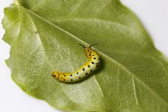 Caterpillar of common maplet butterfly hanging on leaf of host p Stock Photography