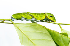 Caterpillar of Common mormon butterfly on leaf Stock Images