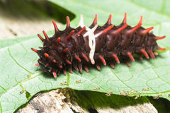Caterpillar (The Common Rose). Close up of middle stage of common rose (Pachliopta aristolochiae goniopeltis) caterpillar stock photo