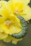 Caterpillar of common yellow swallowtail butterfly Royalty Free Stock Photo