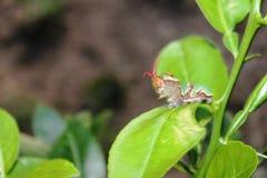 Caterpillar con la antena que sale de la cabeza Foto de archivo libre de regalías