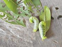 Caterpillar con la foglia Fotografia Stock