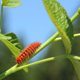 Caterpillar of a coronet moth, climbing up a green plant Royalty Free Stock Image
