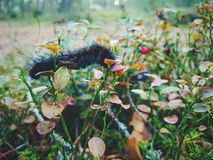 Caterpillar & Cowberry Royalty Free Stock Photos