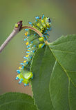 Caterpillar on crab apple Royalty Free Stock Image