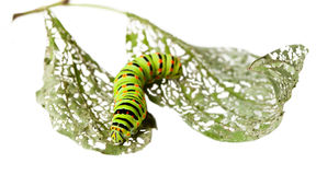 Caterpillar crawl across leaf Stock Image
