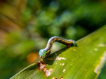 Caterpillar. A crawling caterpillar Royalty Free Stock Images