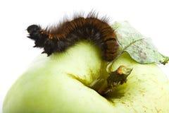 Free Caterpillar Crawling Along Apple Stock Image - 6458151