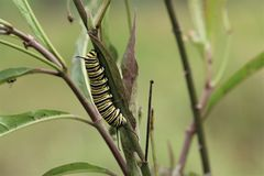 Caterpillar crawling on a branch. Toward a human hand royalty free stock photography