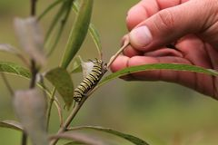 Caterpillar crawling on a branch. Toward a human hand stock images