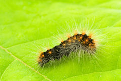Caterpillar crawling on a green leaf Stock Image