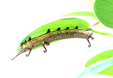 Caterpillar is crawling on a leaf Stock Photography