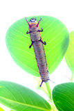 Caterpillar is crawling on a leaf Stock Photo