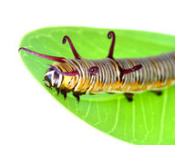 Caterpillar is crawling on a leaf Stock Images