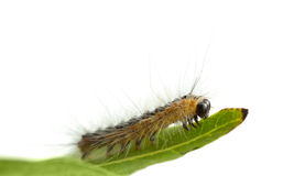 Caterpillar crawling on leaf edge Royalty Free Stock Photography