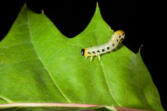 Caterpillar crawling on oak leaf Royalty Free Stock Photo