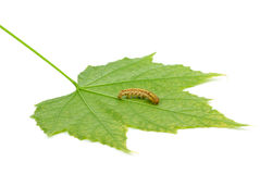 Caterpillar crawling over green leaf Royalty Free Stock Photo