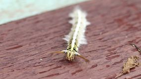 Caterpillar crawling slowly. On a wooden surface stock footage