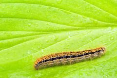 Caterpillar crawling on a  wet leaf Royalty Free Stock Photos