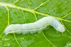 Caterpillar crawling on a wet leaf Stock Images