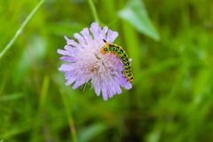 Caterpillar creeps on purple flower Royalty Free Stock Images