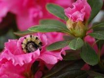 Caterpillar Curled Up Royalty Free Stock Photos