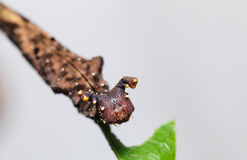 Caterpillar da borboleta azul do begume Fotos de Stock Royalty Free