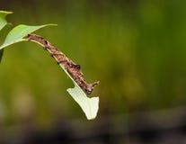 Caterpillar da borboleta azul do begume Fotografia de Stock Royalty Free