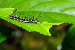 Caterpillar da grande (borboleta Assyrian do atlita de Terinos) Imagens de Stock Royalty Free