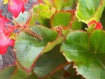 Caterpillar, das auf einer Begonie lebt, pflanzen stockfoto