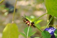 Caterpillar, das auf Schmetterlingserbsenniederlassung im Garten klettert und einzieht Lizenzfreies Stockfoto