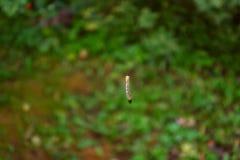 Caterpillar, das an einer Schnur hängt stockfotos