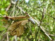 Caterpillar, das herauf eine Anlage kriecht Lizenzfreies Stockbild
