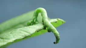 Caterpillar, das langsam umzieht stock video