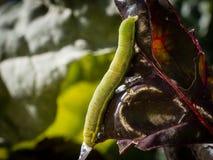Caterpillar, das Schaden durch das Essen des Laubs - Nahaufnahme zufügt lizenzfreie stockfotos