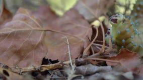 Caterpillar, das unter den herbstlichen Blättern geht stock video footage