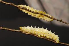 Caterpillar de la polilla de seda del eri Fotografía de archivo libre de regalías